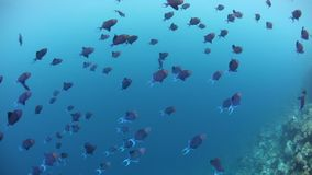 Redtooth triggerfish in blue water. Redtooth triggerfish swim along a reef drop off in Wakatobi National Park, Indonesia. This tropical region, part of the Coral stock footage