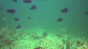 Redtoothed triggerfish Odonus Niger in de golf van Fujairah de V.A.E Oman stock footage