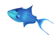 Redtoothed triggerfish Royalty Free Stock Photo