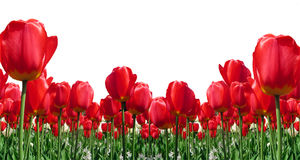 RedTulips Border Royalty Free Stock Photography