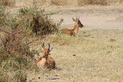 Redunca redunca. The Bohor reed buck having a rest lie in a shadow of bushes in the middle of the African savanna Royalty Free Stock Photography