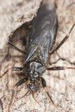 被屏蔽的猎蝽(Reduvius personatus) 库存照片