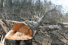 Reduzca los árboles en el bosque Foto de archivo