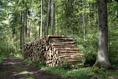 reduzindo árvores na floresta de Bialowieza Fotos de Stock