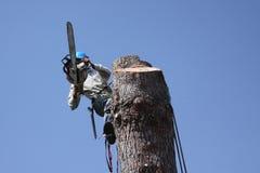 Reduzindo um pinetree Imagens de Stock Royalty Free