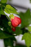 Redvein Abutilon, Red Vein Indian Mallow, Redvein Flowering Mapl. Abutilon Redvein' are highly attractive to hummingbirds. Evergreen shrub or small tree, erect Royalty Free Stock Images