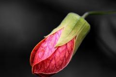 Redvein-Abutilon; Rote Ader-indische Malve; Redvein, das Mapl blüht Stockfotos