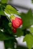 Redvein-Abutilon, rote Ader-indische Malve, Redvein Mapl blühend Lizenzfreie Stockbilder