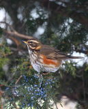 Redwing Stock Photo
