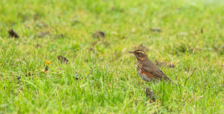 Redwing Royalty Free Stock Photo