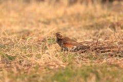 Redwing Royaltyfri Fotografi