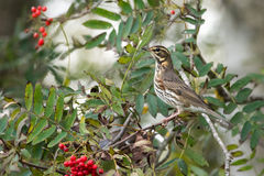 Redwing Royaltyfria Foton