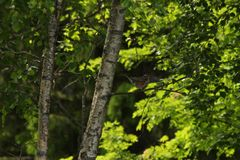 A Redwing on a birch branch. Green background with leaves. stock photo