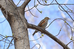 Redwing. Bird in a city Park on a tree Royalty Free Stock Photos