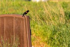 Redwing black bird perched on a bridge Stock Photos