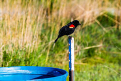 Redwing black bird perched one a post Stock Photos