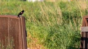 Redwing black bird singing on a bridge Royalty Free Stock Image