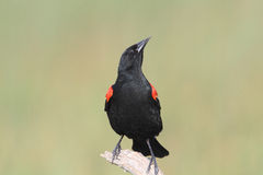 Redwing Blackbird Stock Photography