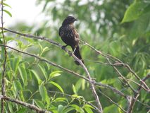 Redwing Blackbird Stock Photos