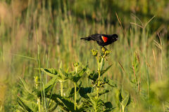 Redwing blackbird chirping to the nearby birds Stock Image