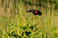 Redwing blackbird looking at the nearby birds Royalty Free Stock Image