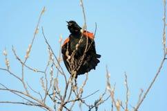 Redwing Blackbird Mating Display Royalty Free Stock Images