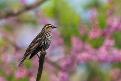 Redwing blackbird in pastel heaven Stock Photography