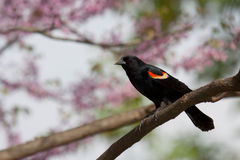 Redwing blackbird in a pastel paradise. Male red-wing blackbird perched on a branch; background consist of the soft springtime pastel pinks of redbud trees stock photos