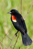 Redwing Blackbird Royalty Free Stock Image