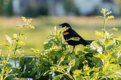 Redwing blackbird sitting in a bush watching the joggers Stock Image