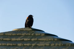 Redwing blackbird watching for the nearby birds Royalty Free Stock Image