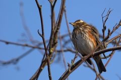 Redwing on blue sky Royalty Free Stock Images