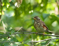 Redwing on the branch. Redwing on branch of tree in forest Stock Image