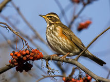Redwing on branch of mountain ash Stock Photos