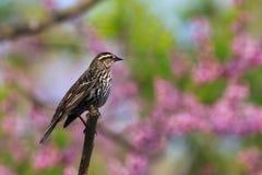 redwing för blackbirdhimmelpastell Arkivbild