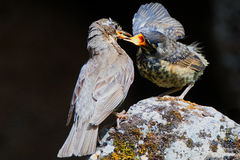Redwing Feeding her young Stock Photos