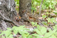 Redwing feeds little chicks with earthworms in the nest located on the ground. Turdus iliacus with newborn fledglings in the nest located on the ground. Wildlife Stock Photos