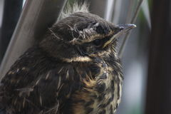 Redwing fledgling baby bird. Close up of feathery cute redwing (turdus iliacus) fledgling baby bird. Icelandic passerine stock images