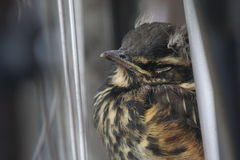Cute redwing fledgling baby bird. Close up of cute redwing fledgling baby bird fledgling perched sleepily stock photography