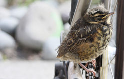 Redwing fledgling with copy space. Close up of redwing fledgling sat on bike chain.  . With copy space Royalty Free Stock Photos