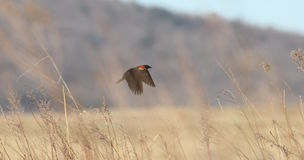 Redwing and grass Royalty Free Stock Photo