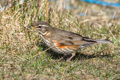 Redwing on the grass Royalty Free Stock Photography