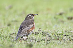 Redwing. Hanging in the grass Stock Photos