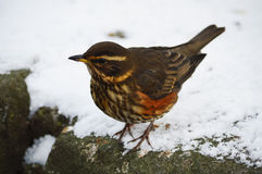 Redwing Stock Photography