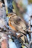 Redwing singing on a branch Royalty Free Stock Images