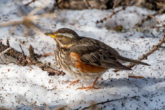 Redwing on the snow Royalty Free Stock Photo