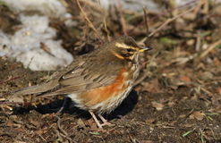 Redwing, song, Turdus iliacus Royalty Free Stock Images