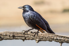 Redwing starling Royalty Free Stock Images