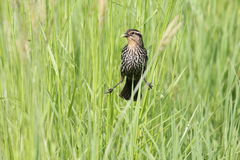 Redwing straddle Royalty Free Stock Photo