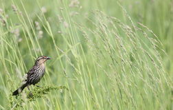 Redwing in tall grass Stock Images